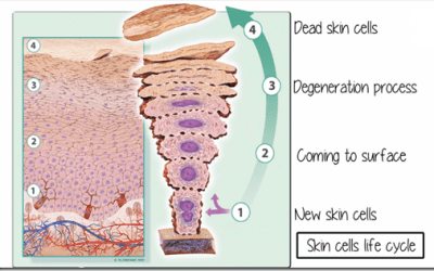 What is a Skin Cycle?